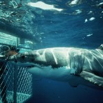A great white shark and a scuba diver protected by a cage inspect each other along Dangerous Reef in south Australia.
