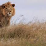 5516_addo-lion-009-960x400