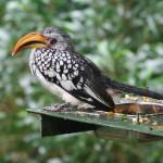 Tockus_leucomelas_-Birds_of_Eden-8a